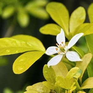 choisya ternata sundance golden mexican orange white