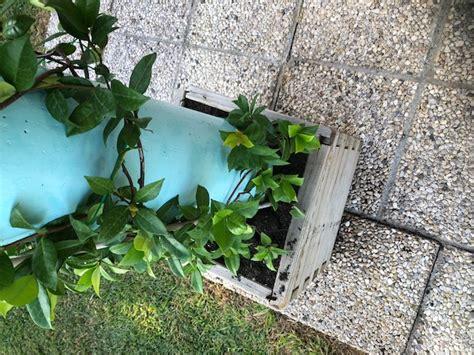 gelsomino coltivazione in vaso come coltivare il gelsomino ricante viziato it