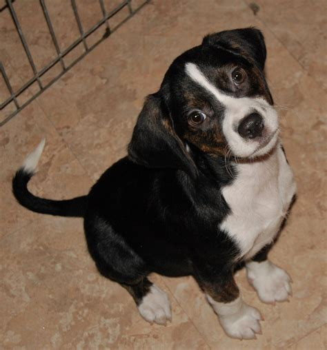Levi Beagle  Ee  Puppy Ee   Up  Ee  For Adoption Ee   From Paws N Time