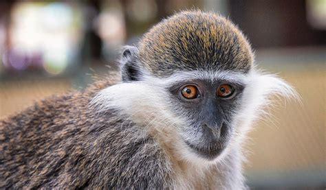 Vervet, Green & Grivet Monkeys  Facts & Information