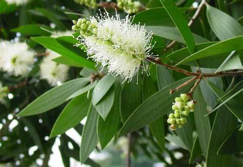 peluang usaha budidaya tanaman kayu putih analisa