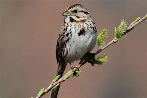 image gallery song sparrow