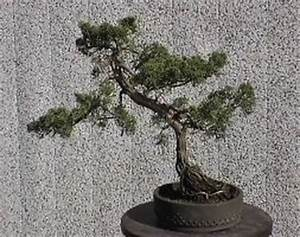 Chinesischer Wacholder Bonsai : bonsai info center bonsai galerie ~ Sanjose-hotels-ca.com Haus und Dekorationen