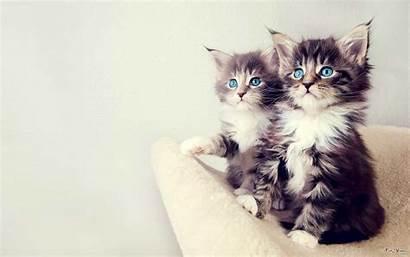 Cat Double Cats Wallpapers Kittens Kitten Kitties