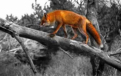 Animales Fondos Zorro Wallpapers Salvajes Pantalla