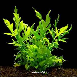 Aquarium Pflanzen Schnellwachsend : feinbl ttriger sumatrafarn wasserstern ceratopteris thalictroides ~ Frokenaadalensverden.com Haus und Dekorationen
