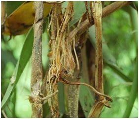 fusarium  tanaman vanili agrokompleks kita