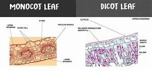 Parts Of A Simple Dicot Leaf