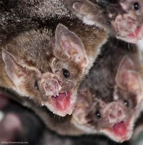 Vampire Bat Facts, Pictures, Information & Video