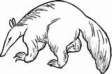 Anteater Coloring Pages Drawing Aardvark Clipart Pangolin Giant Animals Cliparts Printable Template Bushy Sketch Clip Royalty Animal Supercoloring Getcoloringpages Getdrawings sketch template
