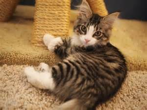 maine coon cat rescue maine coon kittens from meow rescue