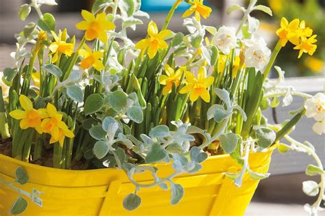 planting daffodils in pot and containers