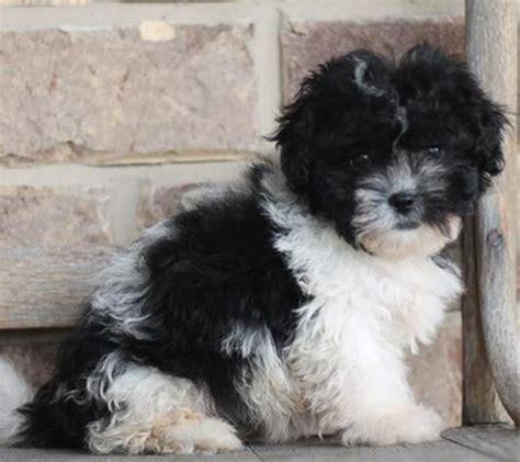 janie shihpoo love  puppy boca raton