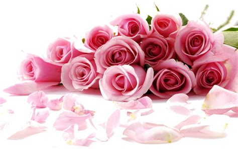 rose flower desktop wallpaper stockxchng pink rose png