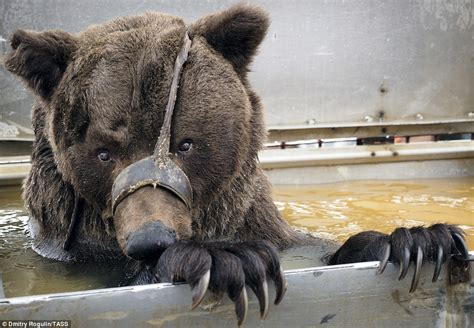 russian bears   cages   ditched  circus