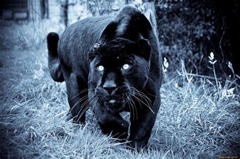 Panther Animal Wallpaper - panthers animal wallpaper www pixshark images