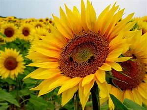 Helianthus annuus - Sunflower | World of Flowering Plants