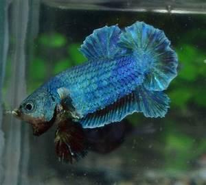 Betta Fish Afira: October 2012