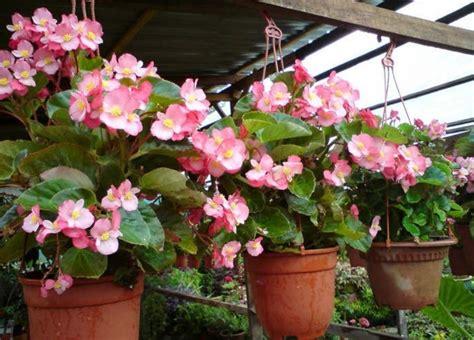 tanaman hias gantung berbunga bibitbungacom