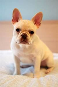 White French Bulldog Baby