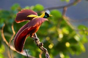 Greater Bird Of Paradise Charismatic Planet