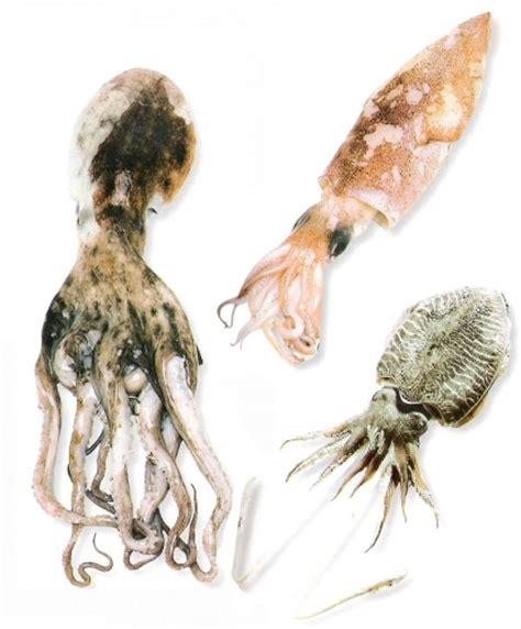 cuisine encornet les différences entre poulpe seiche encornet calamar