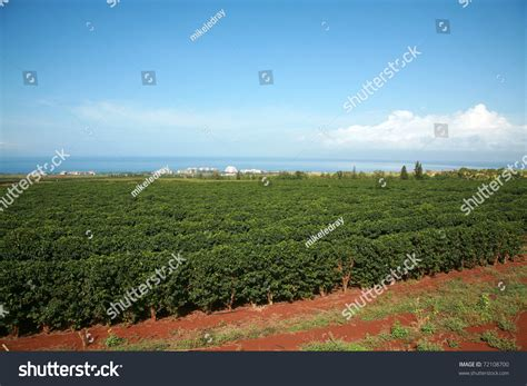 The coffee farm, coffee mill, and plantation store are located in the village of kualapuu at about 850 feet above sea level on the. Coffee Plantation On Maui Hawaii Stock Photo 72108700 : Shutterstock