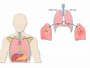 Respiratory System  U2022 Getbodysmart