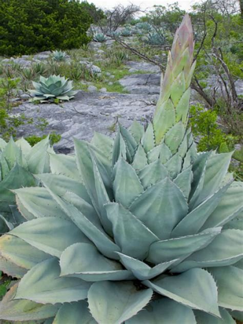 succulents agave agave ovatifolia whale s tongue agave world of succulents