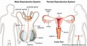 Reproductive System  Female And Male Reproductive Systems