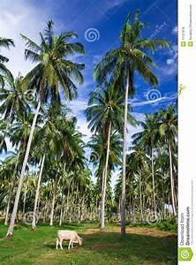 Coconut Tree Garden, South Of Thailand Royalty Free Stock ...