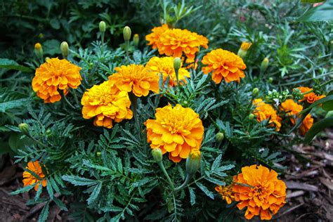 Bonanza Deep Orange Is A French Marigold With A Compact