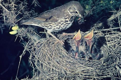 Adult Thrush Pictures