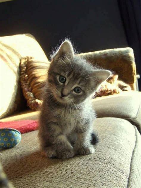 image chat mignon des b 233 b 233 s chats tout mignon