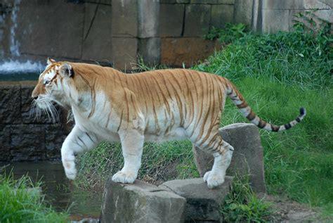 Leap The Golden Tiger Delitescentcalm Deviantart