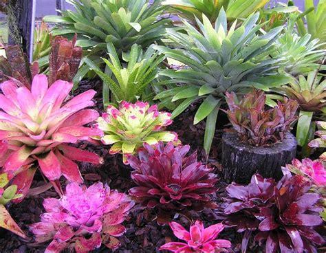 bromeliads australia nursery 17 best images about buy bromeliad guzmania and aechmea plants on pinterest gardens palm