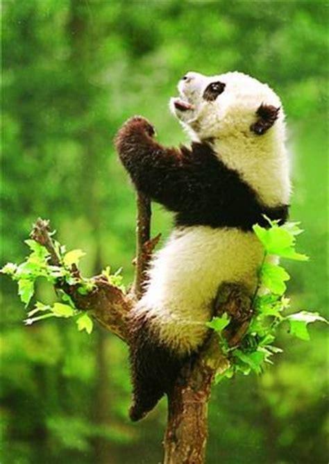 qinling panda bears bears   world