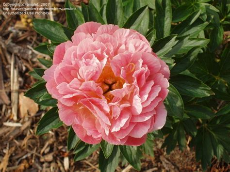 peonies hawaii plantfiles pictures garden peony hybrid species cross pink hawaiian coral paeonia by amulet