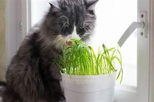Herbe à Chat : l herbe chat quels sont ses effets wikichat ~ Melissatoandfro.com Idées de Décoration
