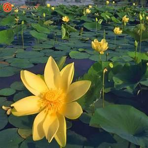 Yellow Bowl Lotus Seeds Lotus Water Lily Aquatic Plants ...