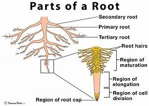 Parts Of A Root  Their Structure And Functions With Diagram