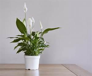 Plante Balcon Facile D Entretien : le spathiphyllum lis de paix entretien floraison et ~ Melissatoandfro.com Idées de Décoration