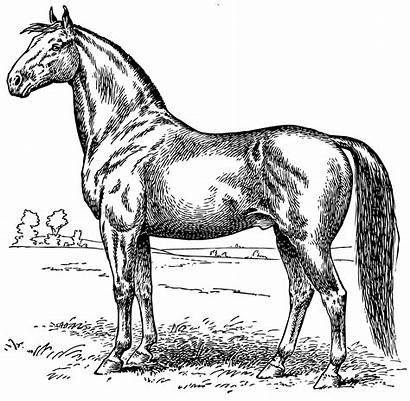 Horse Coloring Clip Horses Clipart Line Sweetclipart