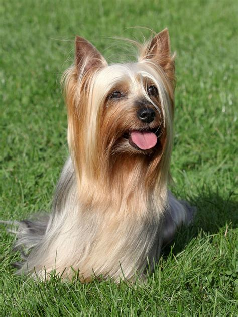 silky terrier dogs breed information omlet