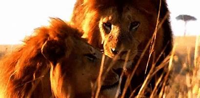 Lion Animated Wild Gifs Cat Animals Dog
