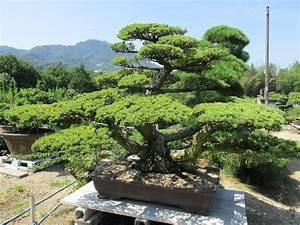 Bonsai Baum Arten : bonsai baum geschichte arten pflege tipps ~ Michelbontemps.com Haus und Dekorationen