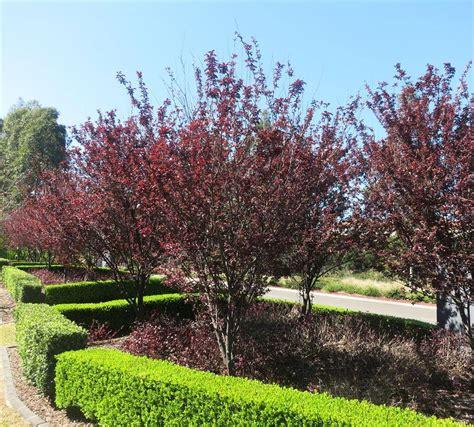 purple leaf plum trees purple leaf ornamental plum prunus nigra