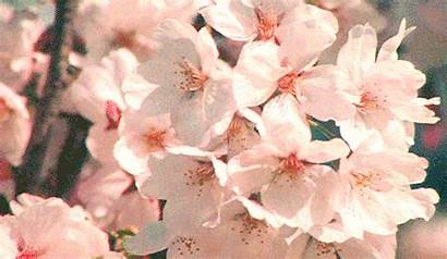 Blossom Flowers Aesthetic Spring Gifs Cherry Animated