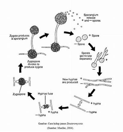 Jamur Hidup Deuteromycota Yang Struktur Gambar Dan