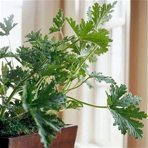 Life On Maple Grove Fragrant House Plants